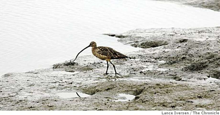 curlew Photo: Lance Iversen, The Chronicle