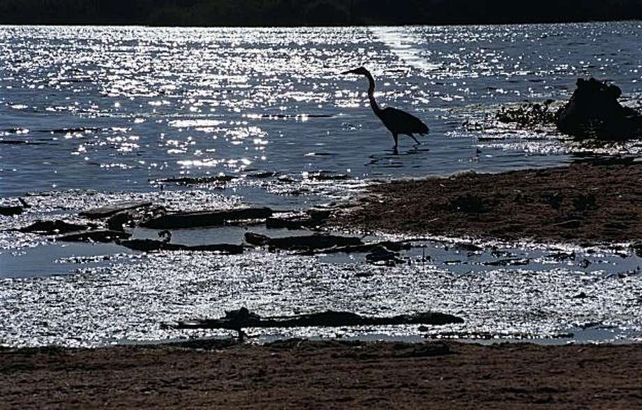 This July 6, 1999 photo shows a crane looking for food in Malibu Lagoon, a large pool of water held back from the Pacific Ocean at Surfrider Beach in Malibu, Calif. The California Coastal Commission is considering a $7 million plan Wednesday Oct. 13, 2010, that proponents say will help restore the long stagnant waters of Malibu Lagoon. Photo: Reed Saxon, AP