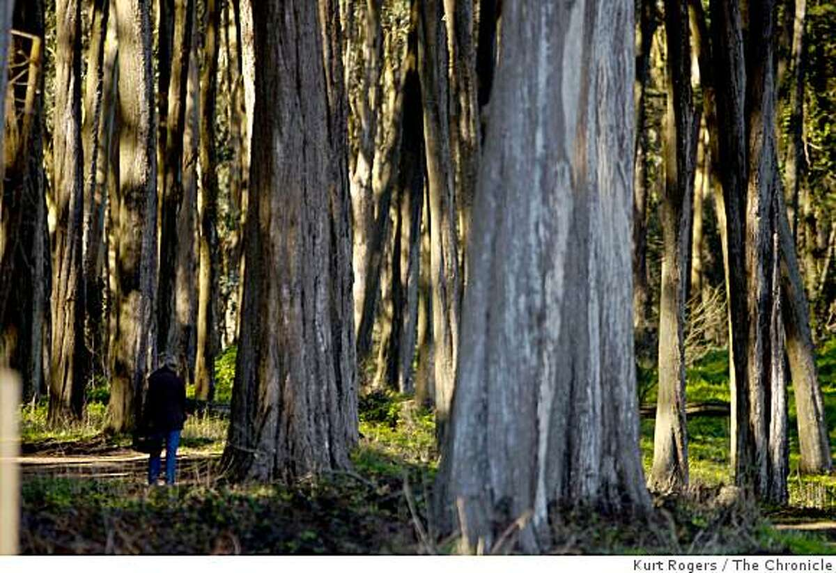 Eucalyptus trees on the upper part of the Presidio's Ecology trail.. on Friday Jan 30, 2009 in San Francisco , Calif