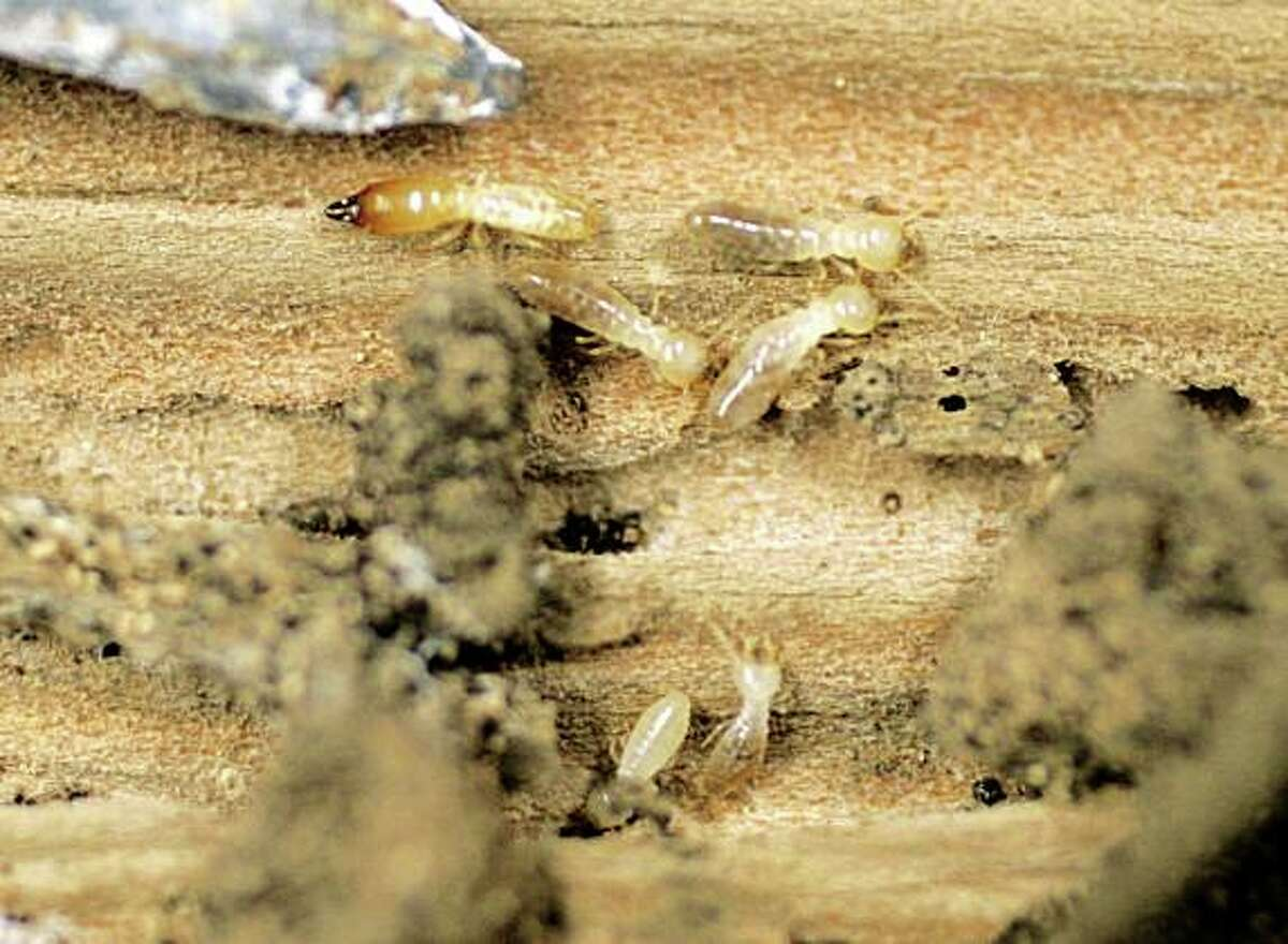 Domestic termites much on a wooden post.