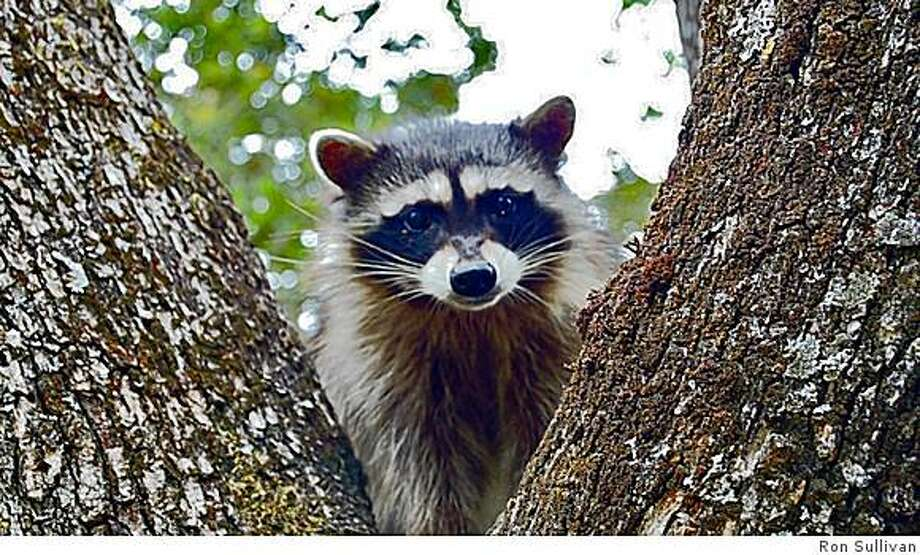 To encourage raccoons to move along, you should harass them with lights and noise, being as obnoxious as possible. Photo: Ron Sullivan