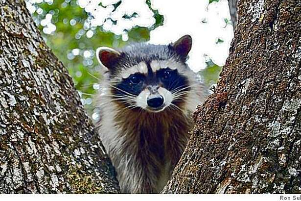 To encourage raccoons to move along, you should harass them with lights and noise, being as obnoxious as possible.
