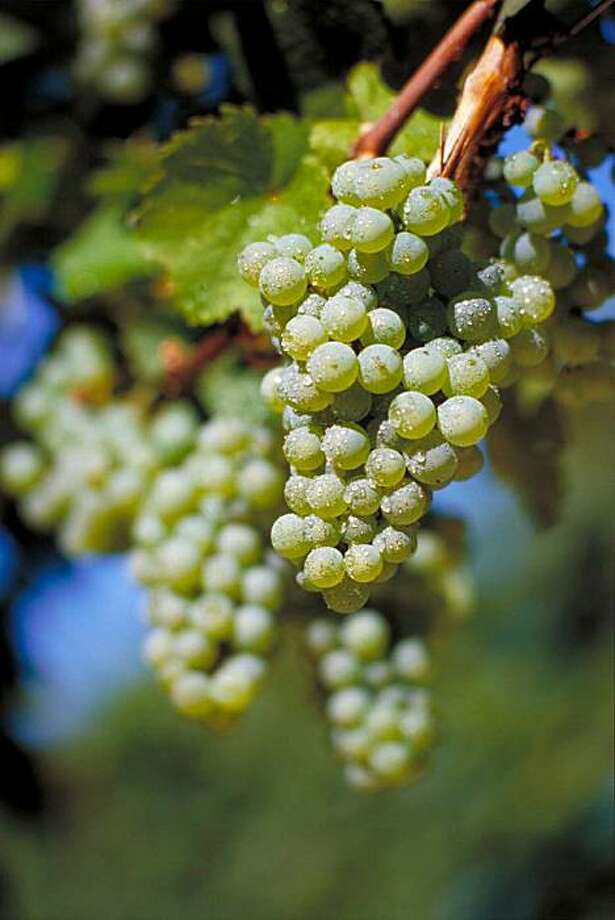 A bunch of German Riesling grapes. Photo: German Wine Institute