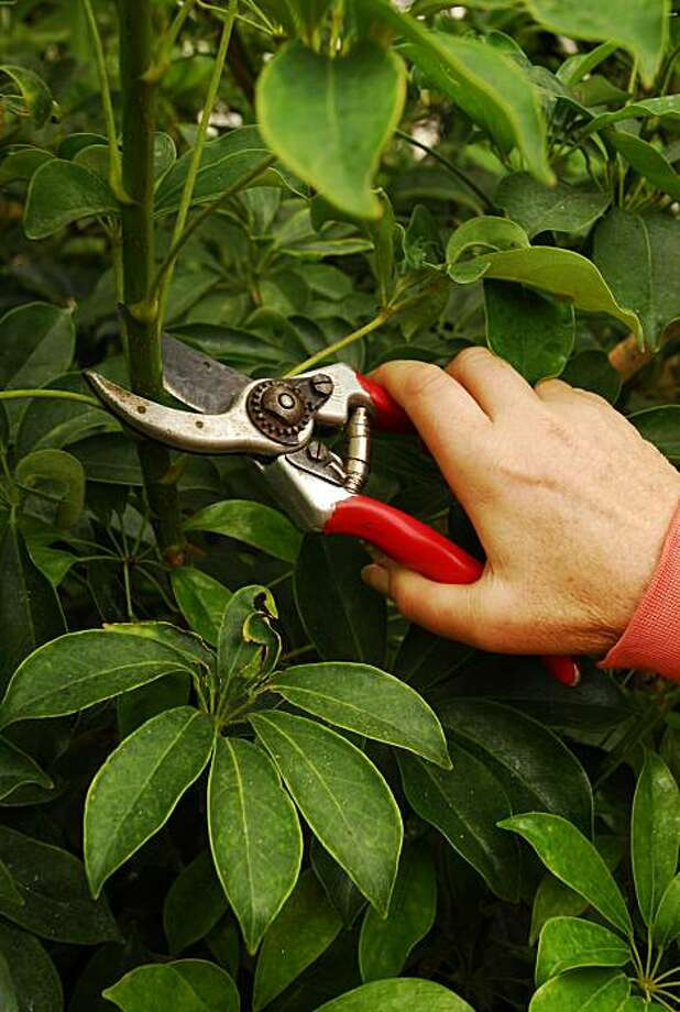 Prune scheffera just above a leaf, using bypass pruners for a clean cut. Photo: David Goldberg