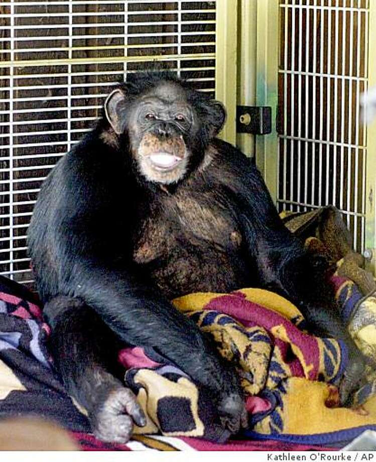 In this Oct. 20, 2003 photo, Travis, a 10-year-old chimpanzee, sits in the corner of his playroom at the home of Sandy and Jerome Herold in Stamford, Conn. The 175-pound  chimpanzee kept as a pet was shot and killed by a police officer Monday after it attacked a woman visiting its owners' home, leaving her with serious facial injuries, authorities said. Photo: Kathleen O'Rourke, AP
