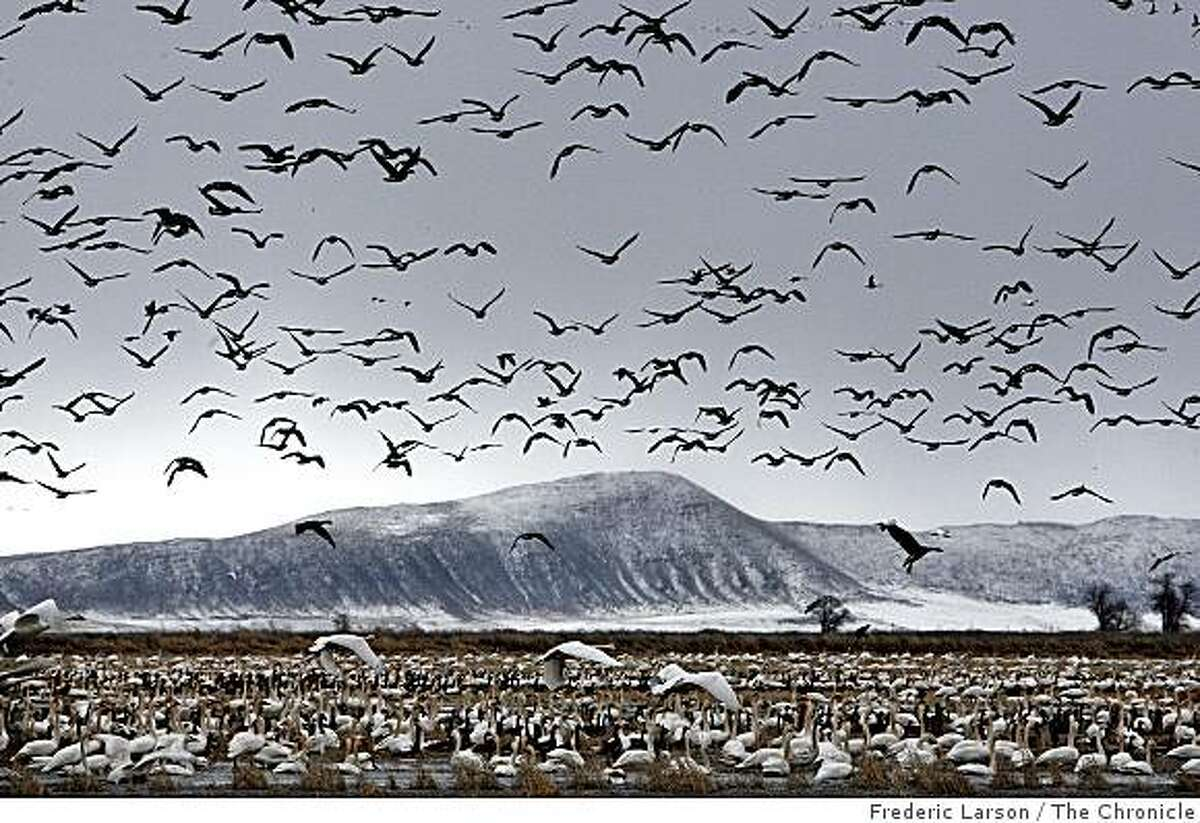 Ducks, geese and swans flock in the wetlands at the Klamath Basin in February, 2009. Every February up to 1,000 bald eagles fly from as far as Alaska to feast on the large congregation of birds.