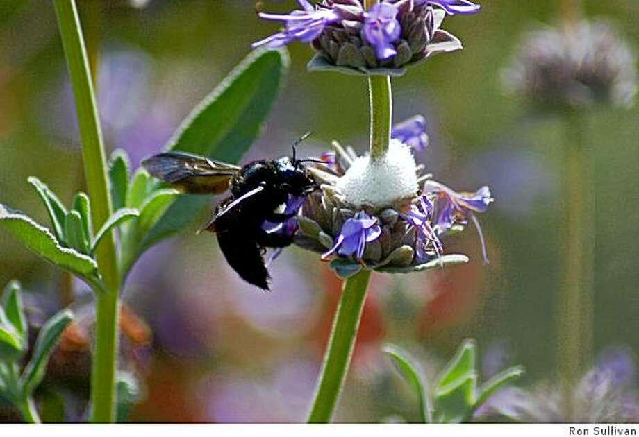 A carpenter bee visits a native sage Photo: Ron Sullivan