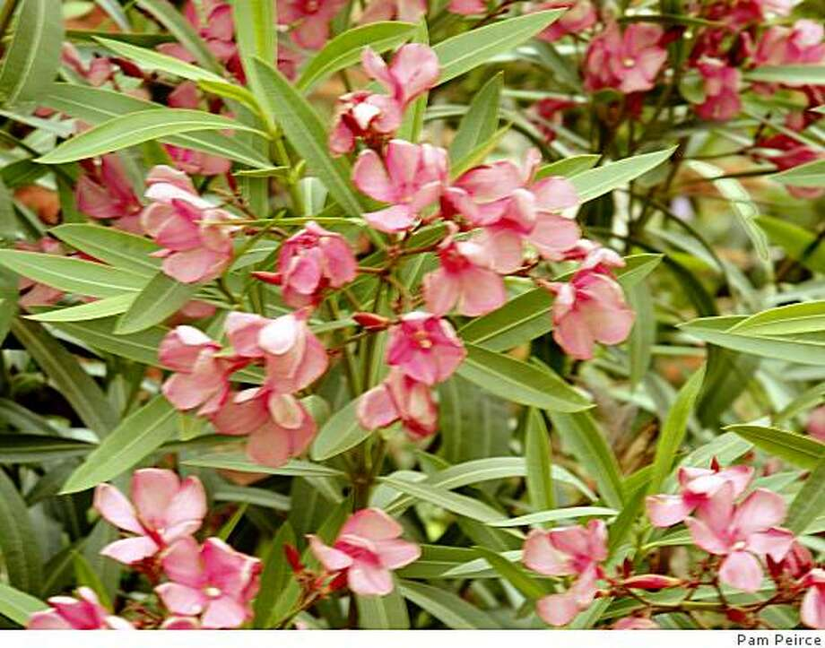 Oleander in bloom. Poisonous only when eaten Photo: Pam Peirce