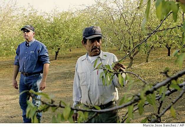 Shawn Coburn, left, and his foreman, Juan Guadian, inspect an almond orchard in Mendota, Calif., Wednesday, Dec. 10, 2008. A double whammy of drought and a court-ordered cutback of water supplies has cost California's agricultural heartland millions of dollars in lost planting, affecting workers in the nation's produce capital.  (AP Photo/Marcio Jose Sanchez) Photo: Marcio Jose Sanchez, AP