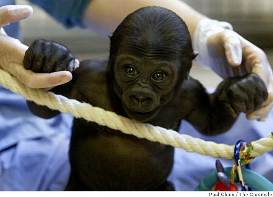 A baby male gorilla holds on to keeper Rachel Simpson at the San Francisco Zoo in San Francisco, Calif., on Thursday, Feb. 12, 2009. Photo: Paul Chinn, The Chronicle