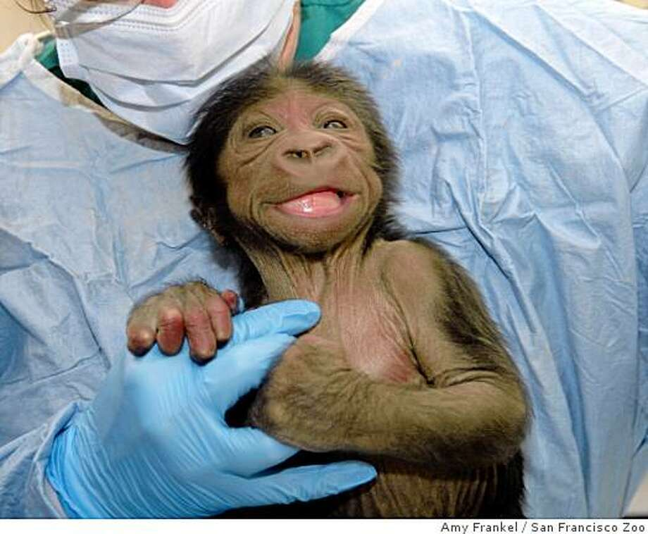 A baby gorilla born at the San Francisco Zoo on Dec. 8, 2008 was promptly abandoned by his mother. Zookeepers are trying to get her to pay attention and raise the infant. Photo: Amy Frankel, San Francisco Zoo