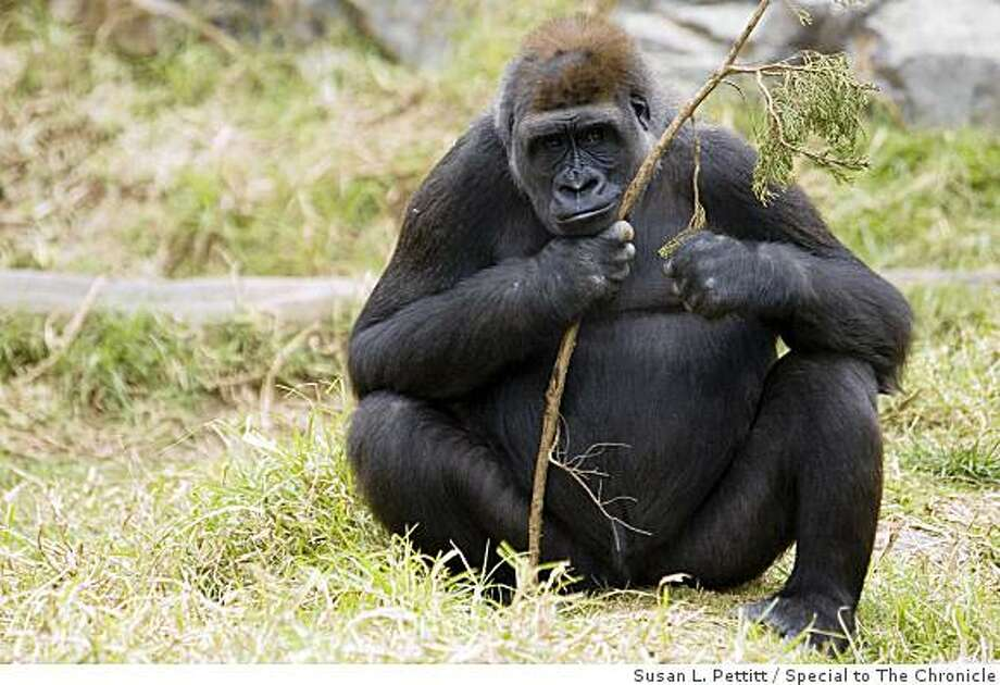 Monifa, the endangered lowlands western gorilla that gave birth at the San Francisco Zoo on Monday but soon abandoned her baby. Photo: Susan L. Pettitt, Special To The Chronicle