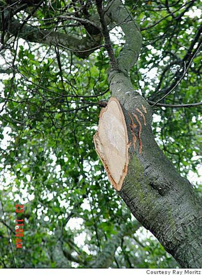 A bad cut may cause decay and create a hazard. Photo: Courtesy Ray Moritz