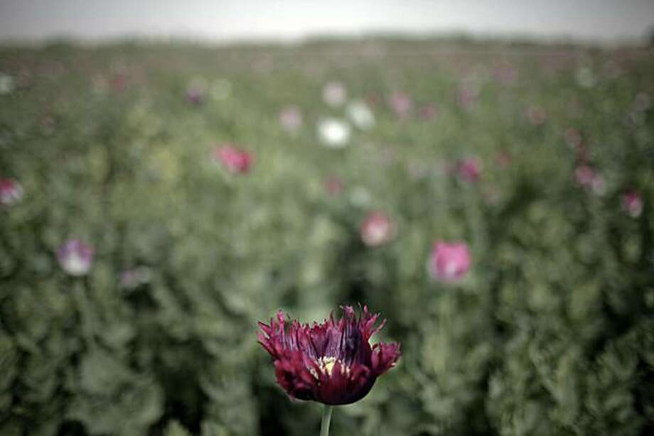 (FILES) In this picture taken on April 7, 2010 of a poppy flower in a field before harvest season in a Taliban-controlled area in Marjah, Helmand province. On September 30, 2010 a UN report said opium output in Afghanistan, the world's biggest producer ofthe drug, has dropped by almost 50 percent this year due to a crop disease but its value has soared. The report, released in Kabul, put the value of opium output at five percent of Afghanistan's gross domestic product (GDP) this year, and said this was more than six times the value of the country's wheat output. Photo: Mauricio Lima, AFP/Getty Images