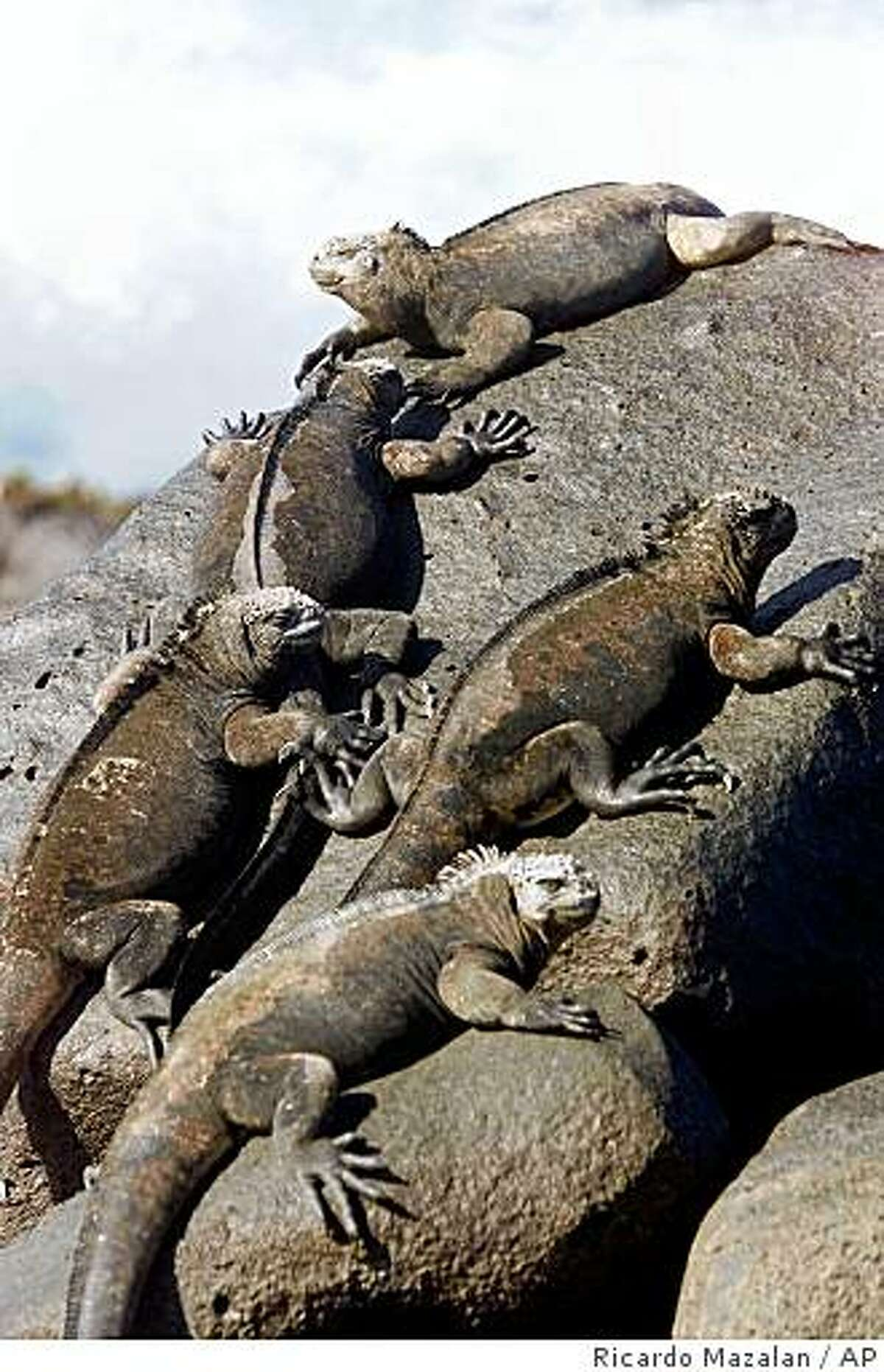Marine iguanas sunbathe on the volcanic rocks of Loberia Beach on San Cristobal Island in the Galapagos Archipelago, in this Thursday, Jan. 25, 2001 file photo. As many as 15,000 marine iguanas died on a Galapagos island in the year after a January 2001 oil spill, say scientists who blame trace amounts of the fuel. Naturalists initially believed that the unique Galapagos ecosystem that inspired Charles Darwin's theory of evolution largely escaped damage from the spill. (AP Photo/Ricardo Mazalan)