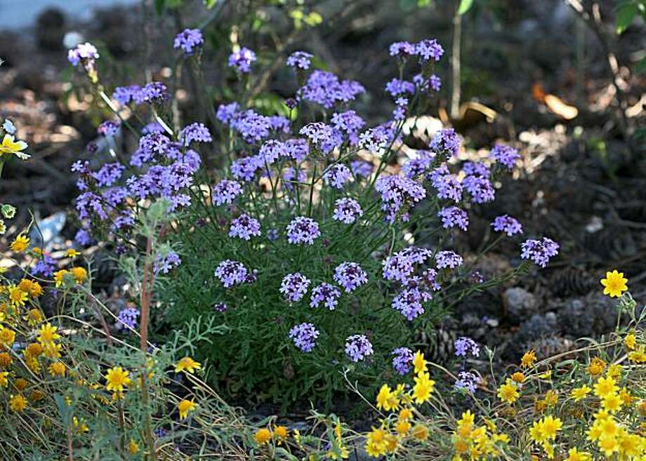 Verbena lilacina Photo: Annie's Annuals And Perennials