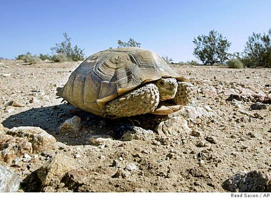 ** FILE ** In this Wednesday, Sept. 3, 2008 file photo, an endangered desert tortoise sits in the middle of a road in the proposed location of three BrightSource Energy solar-energy generation complexes in the eastern Mojave Desert several miles from an old mining and railroad townsite called Ivanpah, Calif.  Among land-going critters on the endangered species list, the Mojave desert tortoise is among the top recipients of money spent by state and federal agencies trying to keep it from the brink of extinction, according to an Associated Press analysis of the last 11 years of available data.   (AP Photo/Reed Saxon) Photo: Reed Saxon, AP