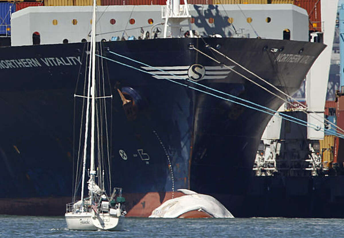 A small boat passes the cargo ship Northern Vitality with a dead whale attached to its bow at the Port of Oakland on Thursday, Sept. 16, 2010.