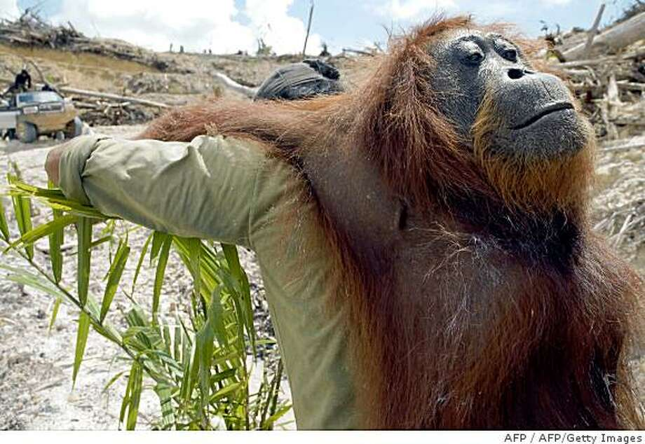 This handout image taken on November 19, 2007 shows a ranger carrying an unconscious orangutan as he removes him to another location on Borneo island.  In the middle of Borneo island, the struggle against the deforestation is lead by Yayasan Orangutan Indonesia (Yayorin) who convinces indigenous people not to sell their lands to palm oil companies, which is vital to the orangutan. At the end of 2008, more than 15,000 hectares of the community forest in Central Kalimantan have been sold for palm oil plantations threatening the livelihood of 2,500 people.   RESTRICTED TO EDITORIAL USE  GETTY OUT     AFP PHOTO/HO/CENTER FOR ORANGUTAN PROTECTION (Photo credit should read AFP/AFP/Getty Images) Photo: AFP, AFP/Getty Images