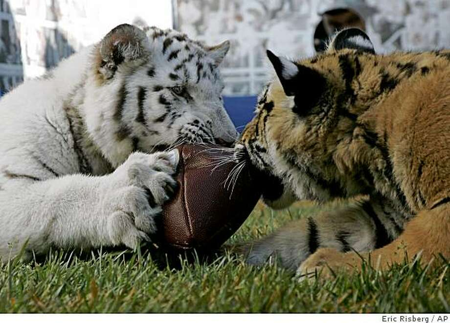 "Tiger cubs playfully battle for a football during the ""Cub Bowl"" at the Six Flags Discovery Kingdom in Vallejo, Calif., Thursday, Jan. 29, 2009. At left is Kurt, a five-month-old male white Bengal tiger and at right is Bennie,  a six-month-old female Bengal tiger. (AP Photo/Eric Risberg) Photo: Eric Risberg, AP"
