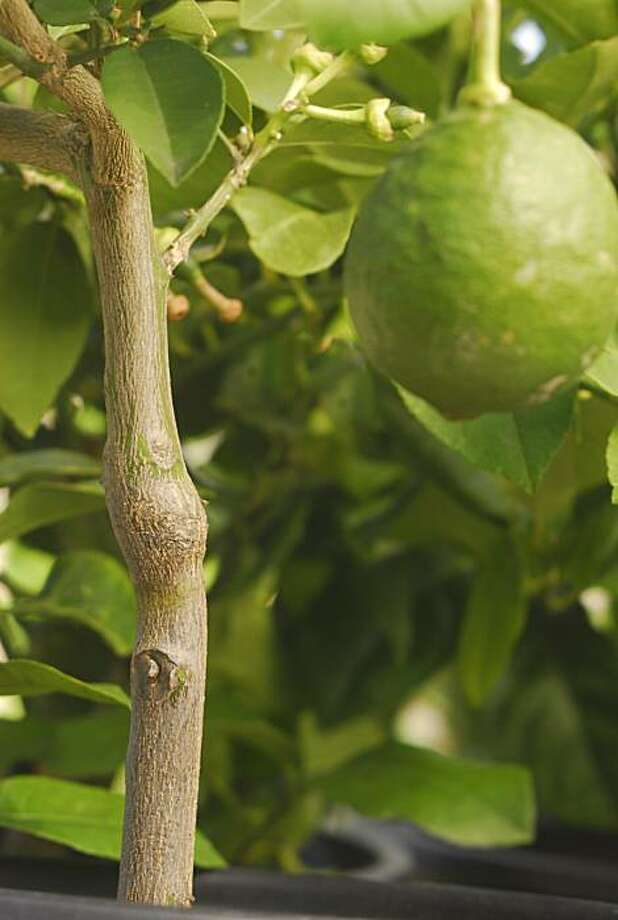 Look low on a citrus tree trunk for the bulge, often with a slight jog and a diagonal scar, that marks where the rootstock is grafted to the named citrus variety. Photo: Pam Peirce