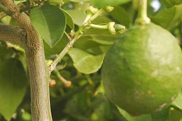 Look low on a citrus tree trunk for the bulge, often with a slight jog and a diagonal scar, that marks where the rootstock is grafted to the named citrus variety.