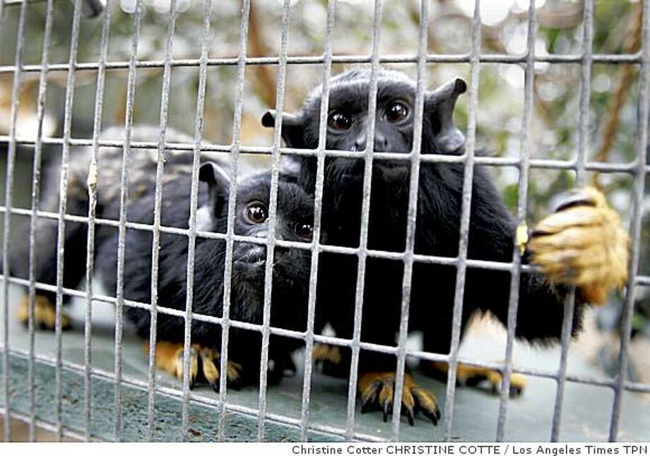 Two red-handed tamarins peer through their cage. They are part of a collection that includes howler monkeys, spider monkeys and a pygmy marmoset. Illustrates ZOO-MONKEYS (category a) by Tony Barboza (c) 2009, Los Angeles Times. Moved Friday, Jan. 23, 2009. (MUST CREDIT: Los Angeles Times photo by Christine Cotter.) Two red-handed tamarins peer through their cage. They are part of a collection that includes howler monkeys, spider monkeys and a pygmy marmoset.  Illustrates ZOO-MONKEYS (category a) by Tony Barboza (c) 2009, Los Angeles Times. Moved Friday, Jan. 23, 2009. (MUST CREDIT: Los Angeles Times photo by Christine Cotter.) Photo: Christine Cotter CHRISTINE COTTE, Los Angeles Times TPN