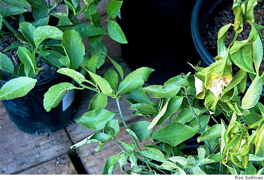 Citrus leaves start drying out when they curl up sideways, like the leaves on lower right; healthy leaves: upper left. The white stuff here is just dried deposits from overhead watering, and aren't a problem. Photo: Ron Sullivan