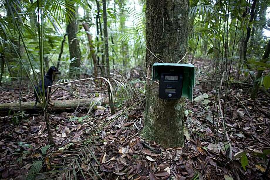 In this photo taken July 22, 2010, a camera trap is attached to a tree in the Guatopo National Park, about 80 kilometers (50 miles) southwest of Caracas, Venezuela. Biologist Emiliana Isasi-Catala has captured videos and photographs of jaguars by using acollection of special cameras with motion sensors set up in the forest, and is carrying out the first comprehensive study of the spotted cats of its kind in Venezuela. Photo: Ariana Cubillos, AP