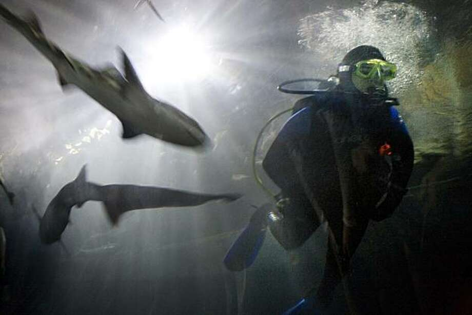 Shayle Matsuda, a volunteer aquarist and shark feeder has a sevengill and leopard shark at her side as she heads out of the tank after hand feeding sevengill sharks at the Aquarium of the Bay at Pier 39 in San Francisco, Calif. on Thursday, August 5, 2010.    Kat Wade / Special to the Chronicle Photo: Kat Wade, Special To The Chronicle