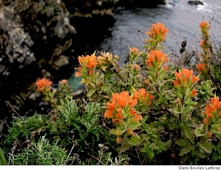 Indian paintbrush, Wight Indian paintbrush, Painted-Cup Photo: Demi Bowles Lathrop