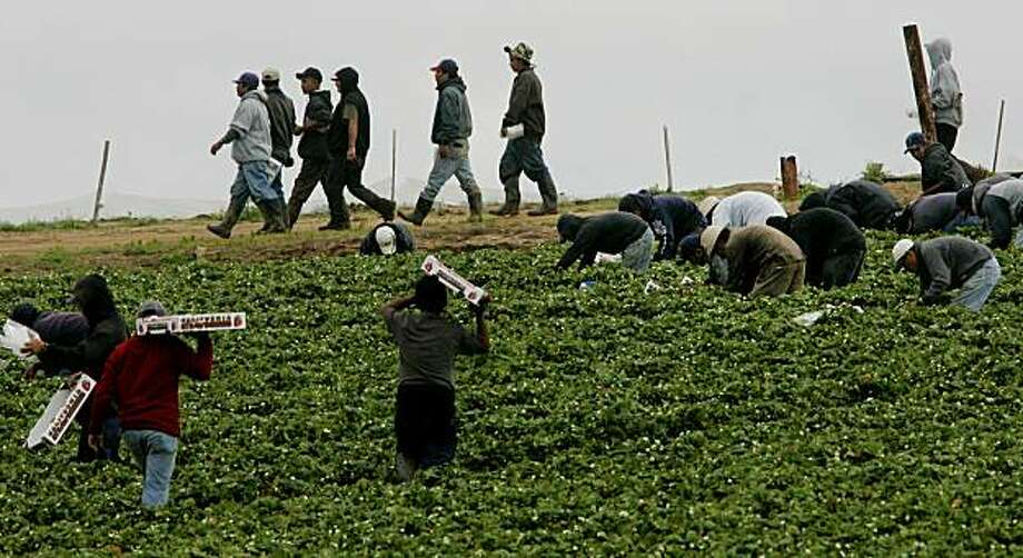 Farm workers pick strawberries at a field in Carlsbad, CA on Saturday, April 1, 2006.  At issue on the immigration controversy is a debate over a proposal that would legalize an estimated 11 million illegal immigrants in the United States and expand guest worker programs for an estimated 400,000 immigrants each year. Photo: Sandy Huffaker, AP
