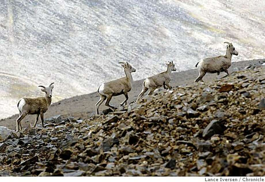 Big Horn sheep roam the White Mountain range in the shadows of the Sierra Nevada. By Lance Iversen/San Francisco Chronicle Photo: Lance Iversen, Chronicle