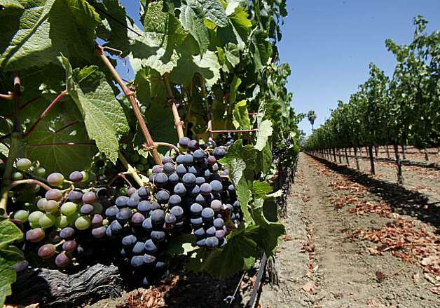 Malbec grapes grow off highway 29 in Napa near the Bistro Don Giovanni. Napa, Calif. is one of the most visited cities in the Bay Area and features fine restaurants, wineries, a renovated downtown and scenic vineyards. Photo: Brant Ward, The Chronicle