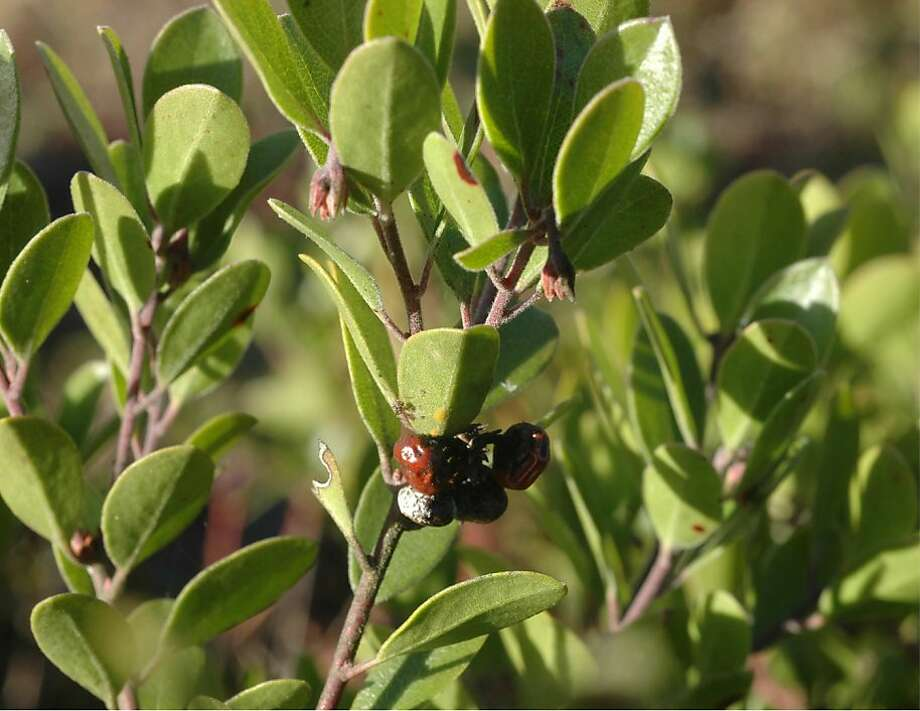 Franciscan manzanita (Arctostaphylos franciscana), a plant thought to have been extinct in the wild since 1947. Photo: Wild Equity Institute
