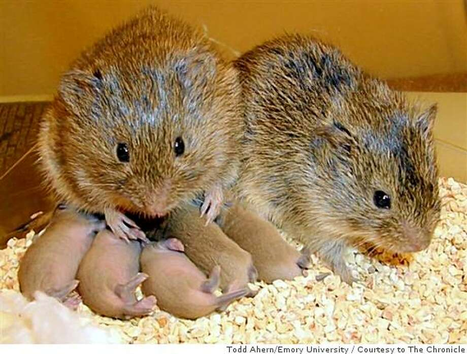 A male and female prairie vole with their babies are pair-bonded for life under the influence of oxytocin, a hormone also important in human sexual relationships like trust and monogamy Photo: Todd Ahern/Emory University, Courtesy To The Chronicle
