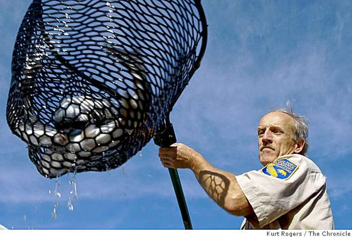 Manfred Kittel with the Department of Fish and Game nets Coho Salmon out of a tank on the back of a truck and hands the net to others to release into Salmon Creek on Thursday Dec 11, 2008 in Bodega Bay, Calif