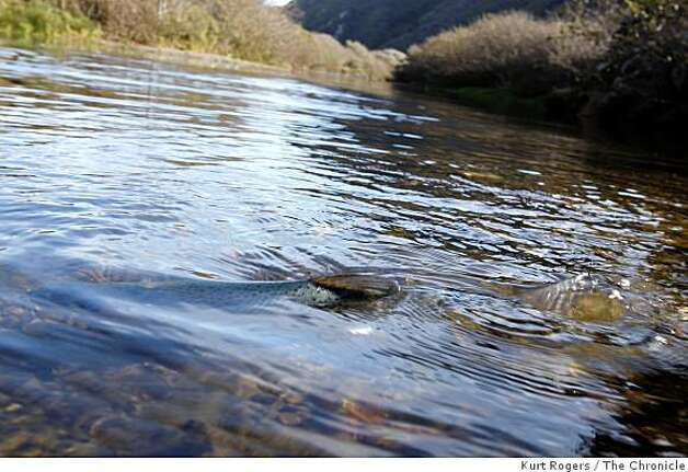 One of the released coho salmon comes to the surface of Salmon Creek. Photo: Kurt Rogers, The Chronicle