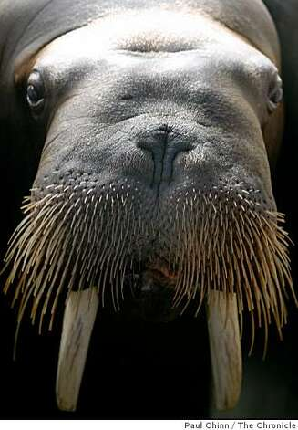 "Sivuqaq the walrus, whose stage name is ""Jocko"", waits for a seafood snack from trainers. Photo: Paul Chinn, The Chronicle"