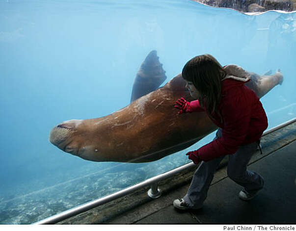 Monique Blakeman, 8, visiting from Puerto Rico, watches Siku the walrus. Photo: Paul Chinn, The Chronicle