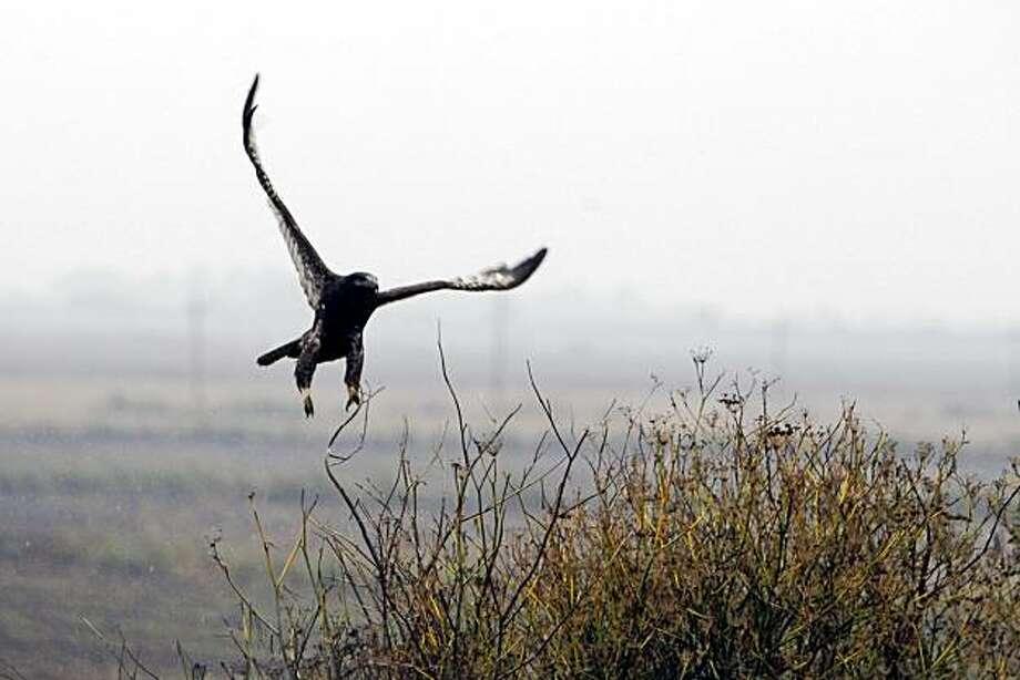 A hawk takes flight on Tyler Island outside Walnut Grove. Photo: Lance Iversen, The Chronicle