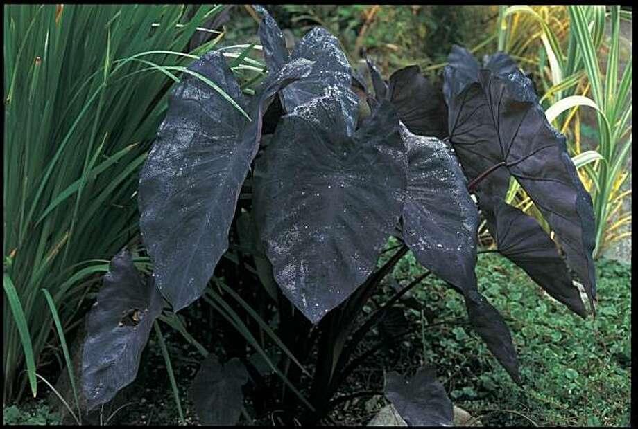 Dark-foliaged plants add drama to the garden Photo: Black Plants / Timber Press