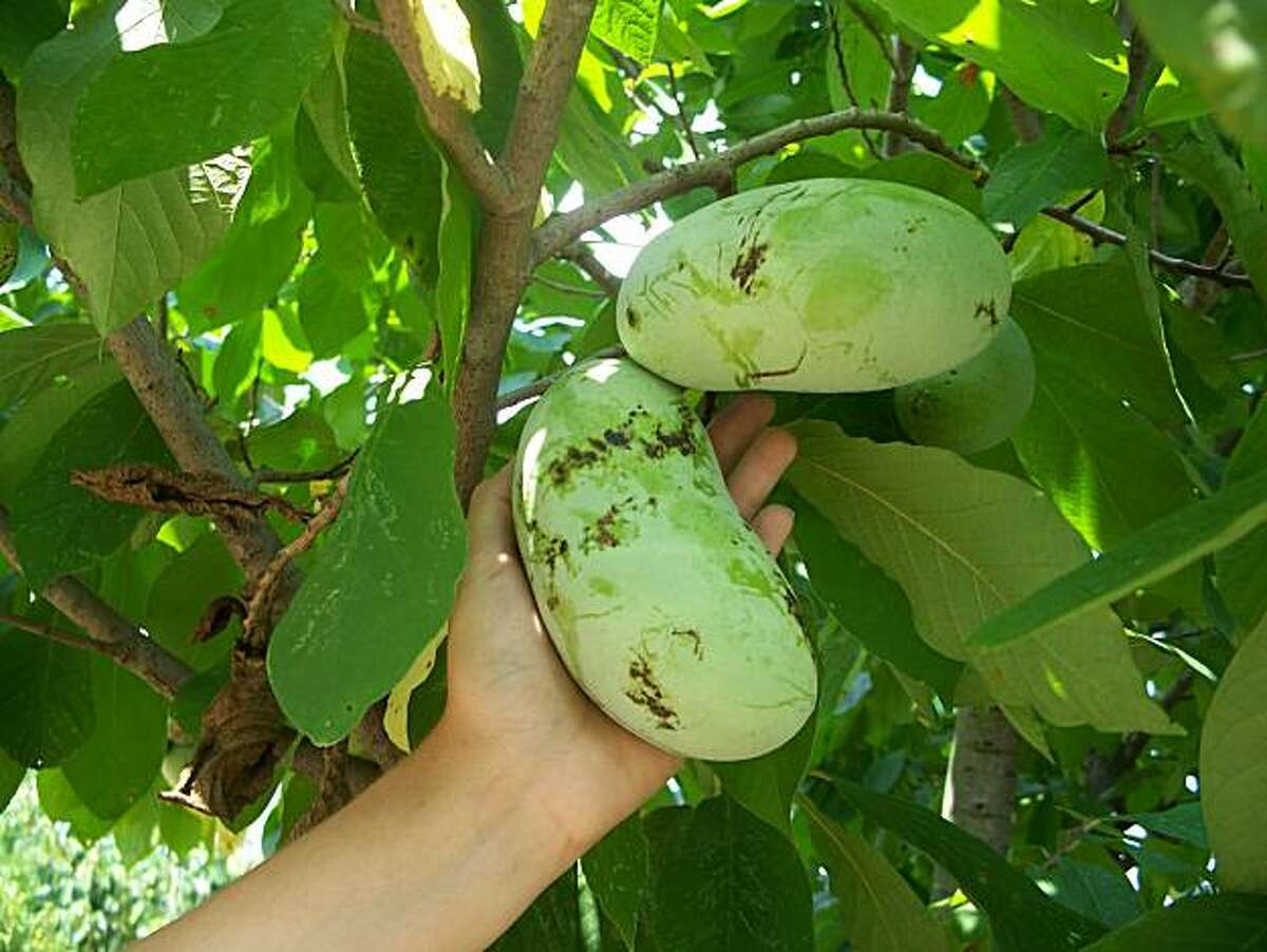 """Cool summers are probably the factor most likely to limit pawpaw production near the coast. Pawpaw, a North American tree, has fruits to 6"""" long with a custardy, tropical-tasting interior."""
