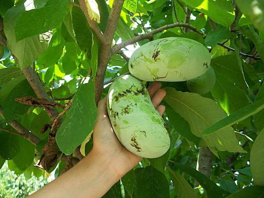 "Cool summers are probably the factor most likely to limit pawpaw production near the coast. Pawpaw, a North American tree, has fruits to 6"" long with a custardy, tropical-tasting interior. Photo: Kirk Pomper, Univ. Of Kentucky"