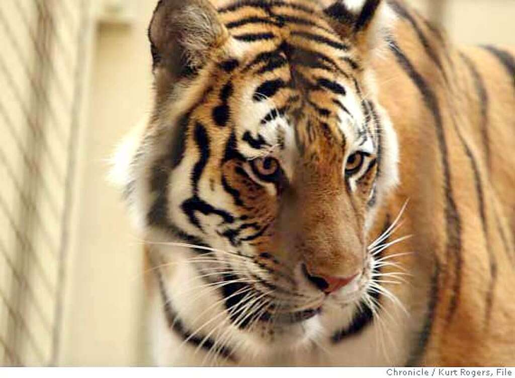 Tatiana A 400 Pound Female Siberian Tiger That Mauled An Animal Keeper In  December Was Let
