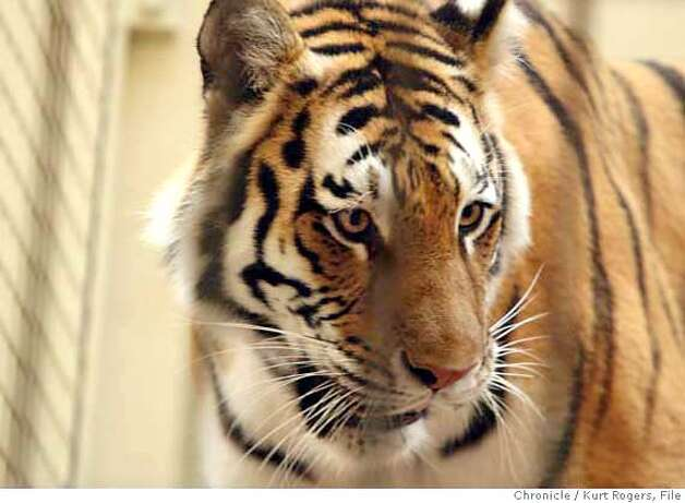 Tatiana a 400 pound female Siberian tiger that mauled an animal keeper in December was let into the cage in the lion house.  The San Francisco Zoo is Reopening its lion house where a animal keeper was mauled in December. The Zoo will resume its public feedings of the big cats on friday.  THURSDAY, SEPT 6, 2007 KURT ROGERS SAN FRANCISCO SFC  THE CHRONICLE Photo: KURT ROGERS