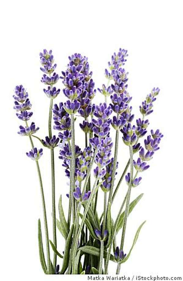 bunch of lavender flowers isolated on white Photo: Matka Wariatka, IStockphoto.com