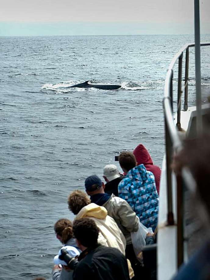 Whale watchers aboard a Monterey Bay Whale Watch boat get a glimpse of a Blue whale, the largest creature ever known to have inhabited the Earth. on Thursday, July 22, 2010. (Manny Crisostomo/Sacramento Bee/MCT) Photo: Manny Crisostomo, Sacramento Bee
