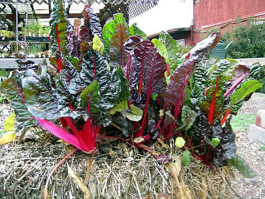 Chard grows from a bale of hay at Nichols Garden Nursery. Photo: Keane McGee