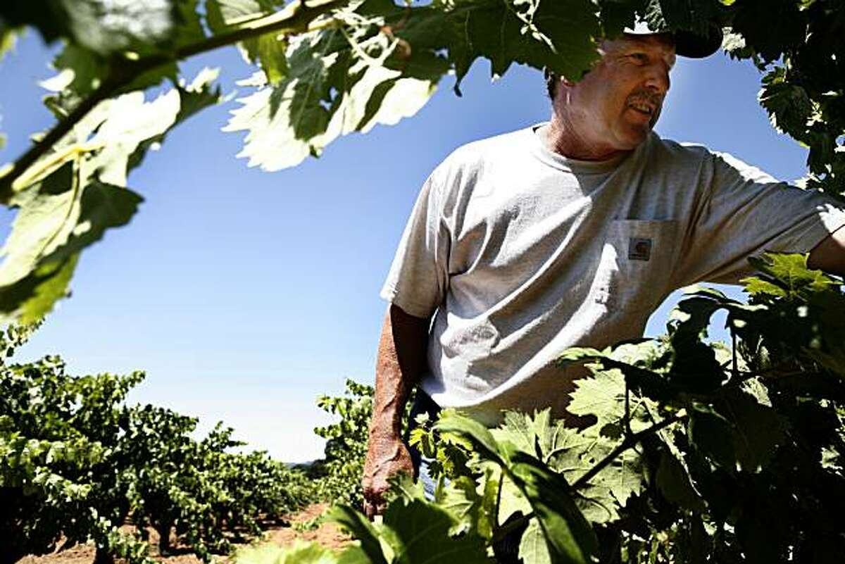 Vineyard owner Alvin Tollini inspects the Carignane grape vines on his 30 acre property on Monday, July 26, 2010 in Redwood Valley, Calif.